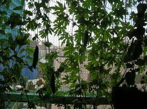 2014.08@E宅緑カーテンs.jpg
