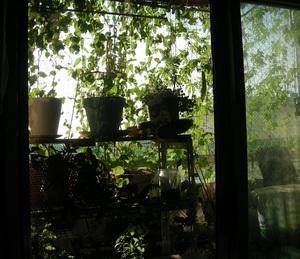 8.31@室内から緑カーテンs.jpg